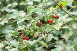 Cà gai dây là một thảo dược quen thuộc trong các bài thuốc Đông y