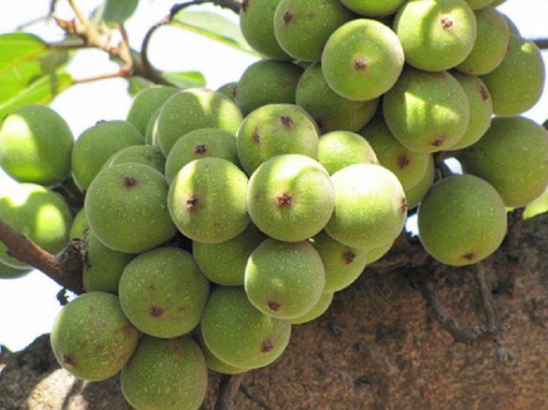 Ăn sung giúp giảm táo bón, từ đó giúp giảm nguy cơ bị trĩ