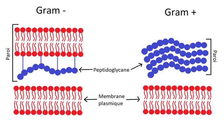 Phương pháp soi tươi và kỹ thuật nhuộm Gram sẽ cho kết quả chính xác nhất