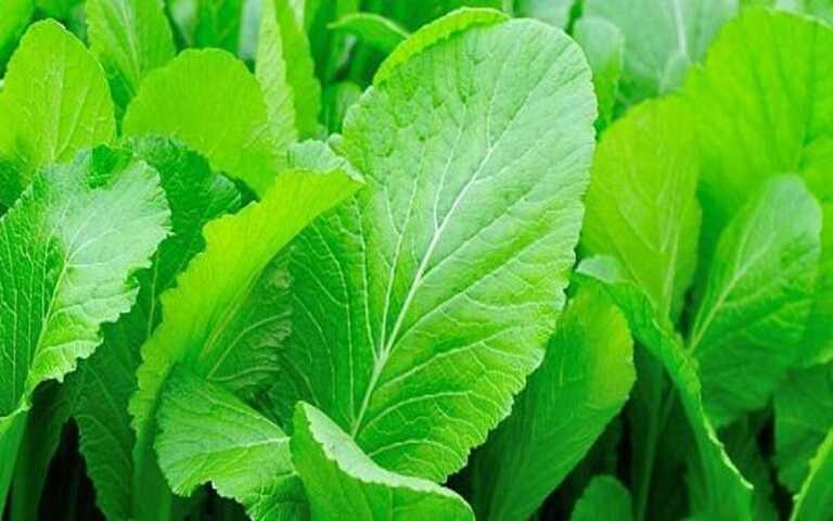 Rau cải xanh rất tốt cho người bị viêm loét dạ dày tá tràng