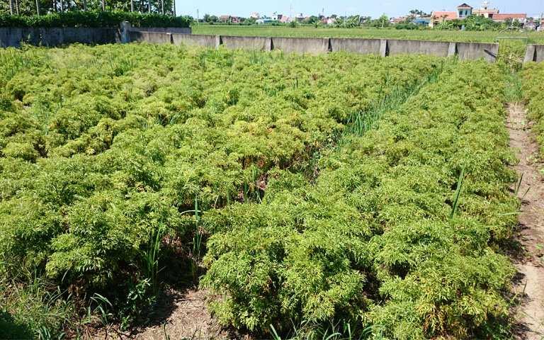 Vườn dược liệu được trồng theo công nghệ sinh học của Quân dân 102